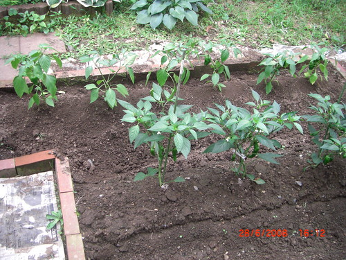 Bell pepper row behind green peper plants