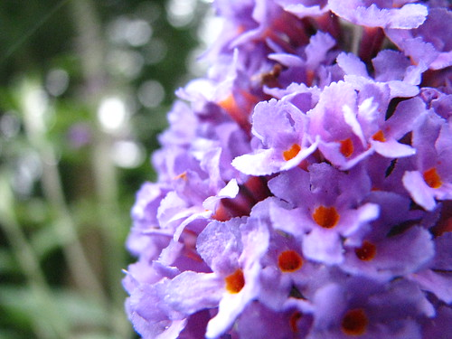 Buddleia volunteer