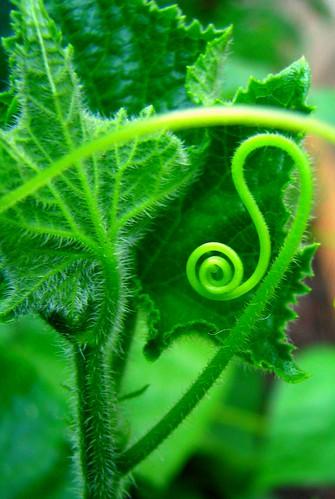 Cucumber Curl