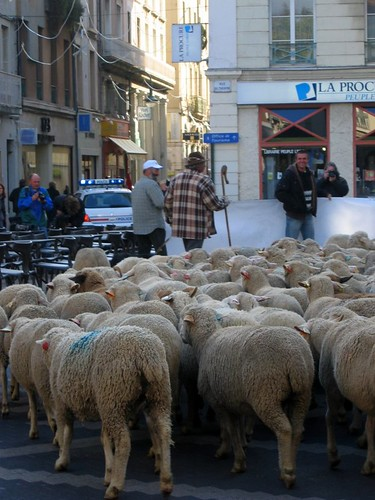The sheep and their people set off for the town.