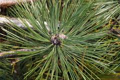Austrian Pine Closeup