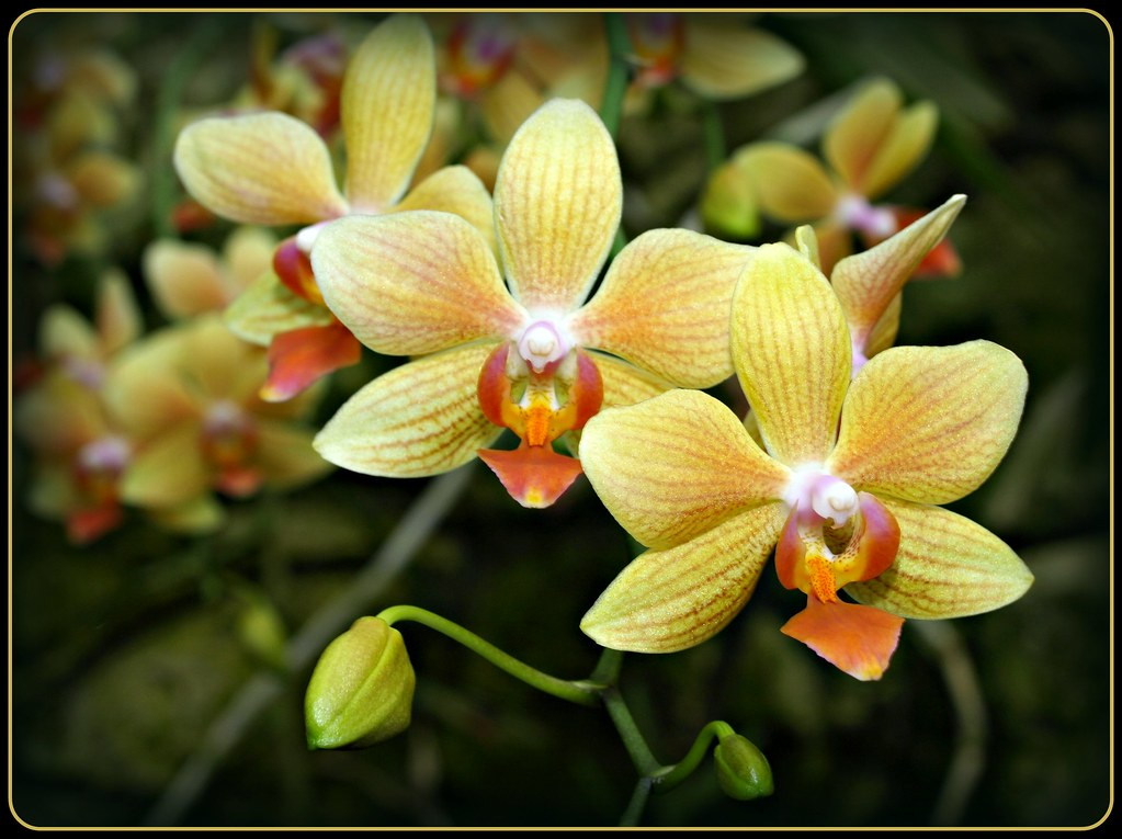 Gold Cup Orchids