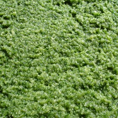 Gemüsesalz nass zerrieben