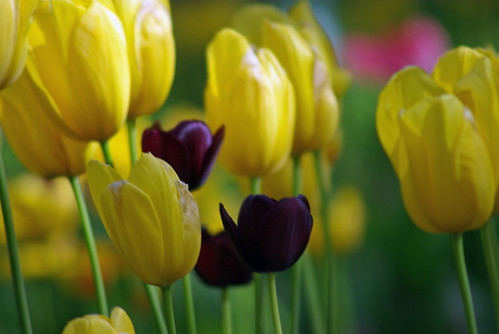yellow tulips and black tulips from Istanbul Tulip Festival (camera is pentax k10d)