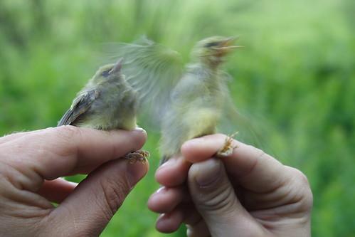 Blue-winged Warbler Babies