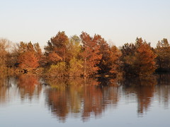 bronzy cypress