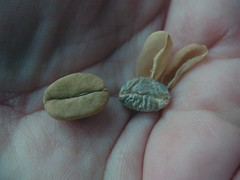Peeled coffee beans