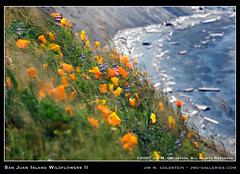 San Juan Island Wildflowers II