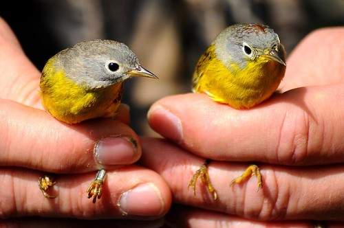 Nashville Warbler pair