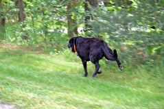 black lab running