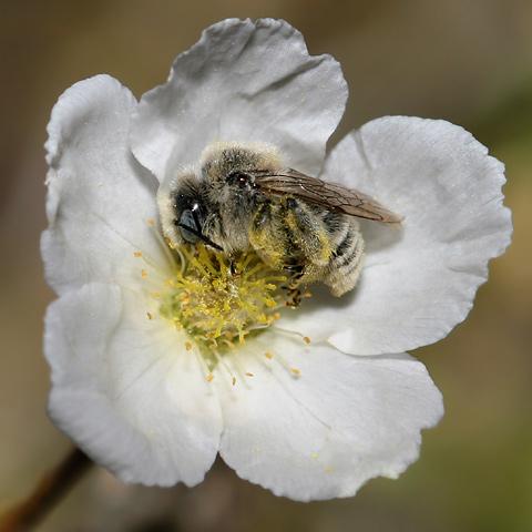 fuzzy bee asleep