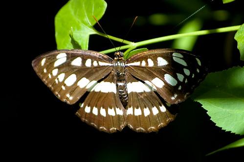 Athyma selenophora laela