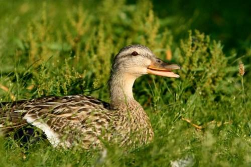 Quackkkkk