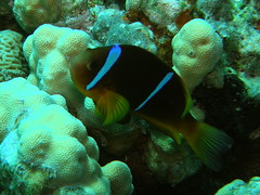 Pez payaso del Mar Rojo / Red Sea anemonefish (Amphiprion bicinctus)