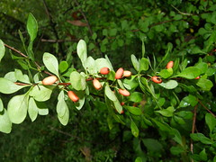 Japanese barnberry (Berberis thunbergii)
