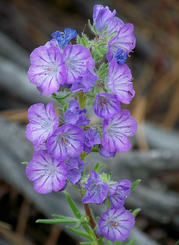 Unknown (Polemonium?)