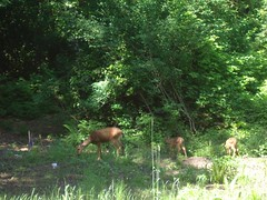 Mother deer & 2 fawns