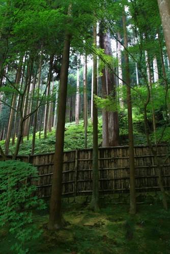 南禪寺內的杉樹