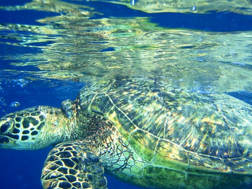 Turtle just below the surface