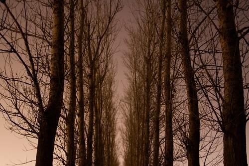 Row of trees at Arboretum at night
