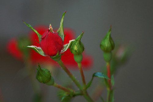 NOID Red Carpet Rose