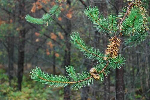 Yellowing needles on jack pine