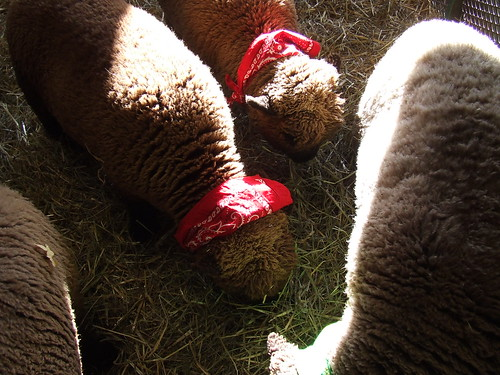 Babydoll Southdown Sheep