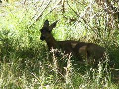 Bambi !