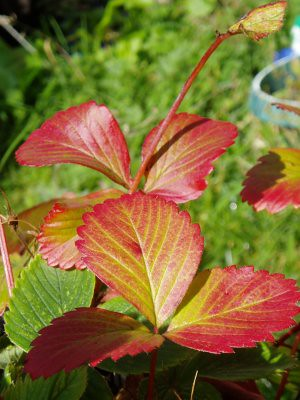 strawberry leaves - did you know they go bright red in autumn?