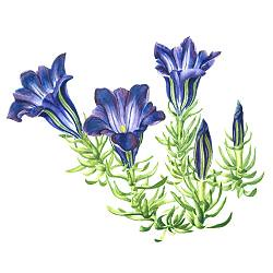 gentian 1 by you.