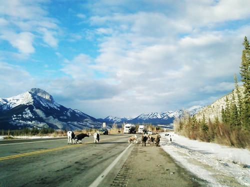 Goats on the Road by Karyn Ellis