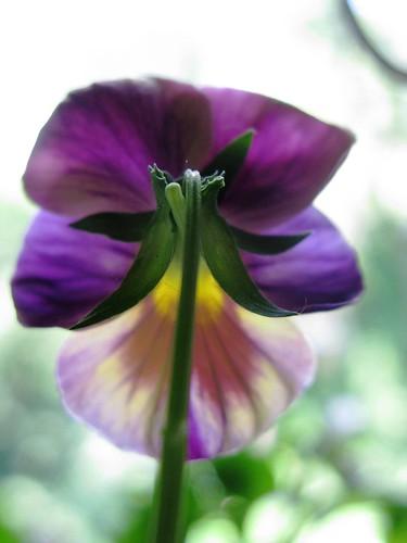 Purple, Flouncy, Transparent