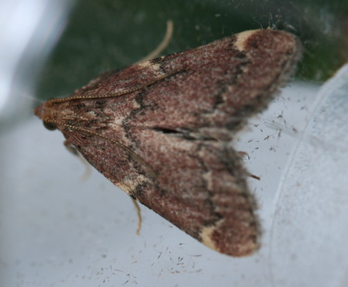 Red-shawled Moth - Hodges#5526 (Pseudasopia intermedialis)