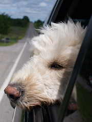 Did you ever notice when you blow in a dog's face he gets mad at you?  But when you take him in a car he sticks his head out the window.  (26~52) by DoodlesNPoodles - on intermittently