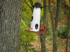 Northern Cardinal (Cardinalis cardinalis) macho/male