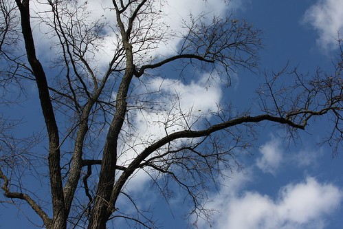 Black Locust and Blue Sky 3