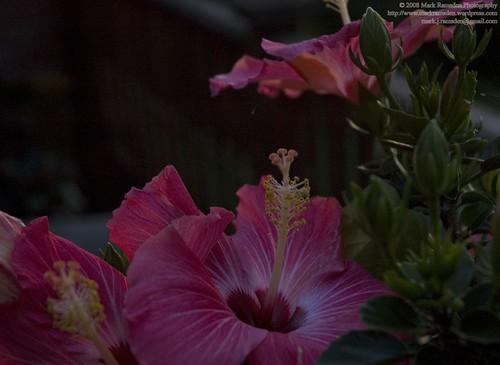 06 - hibiscus