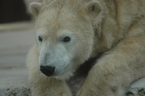 Eisbärin Larissa im Zoo Karlsruhe