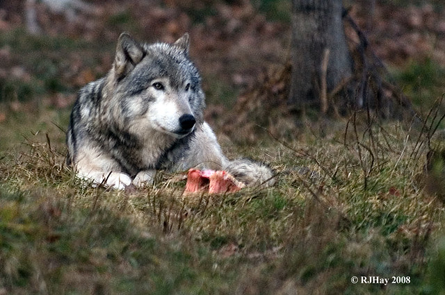 Timber Wolf - Parc Omega