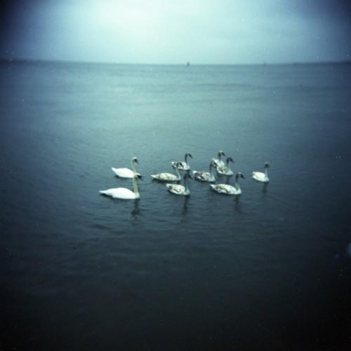 swans002.jpg