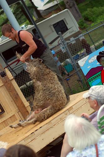 preparation for shearing