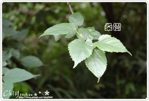 DSC_9382桑樹