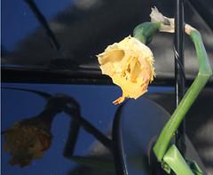 daffodilvs300mi