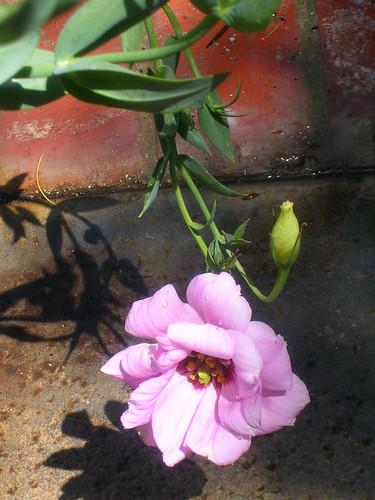 Lisianthus-bloom