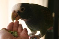 Mika eating peas