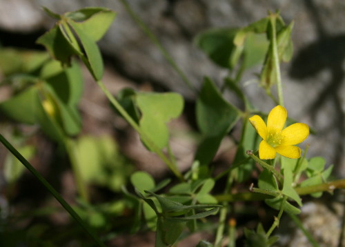 Yellow Wood Sorrel, Oxalis stricta