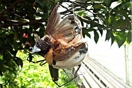 spidereatingbird2