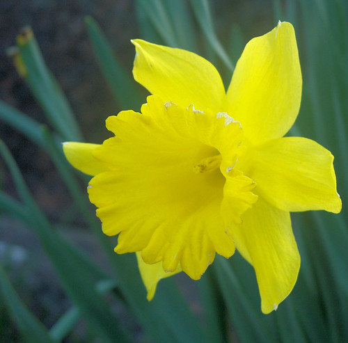 daffodills 6.jpg