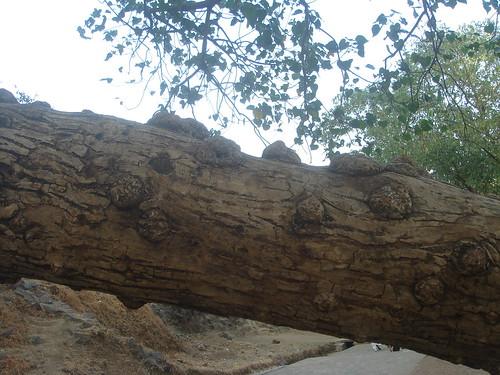 Elephanta Caves象窟1-29百年菩提樹1-3樹幹有如釋迦牟尼的�