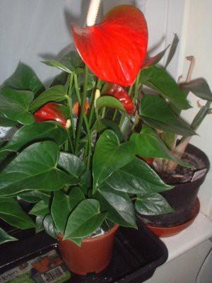 whole Anthurium plant